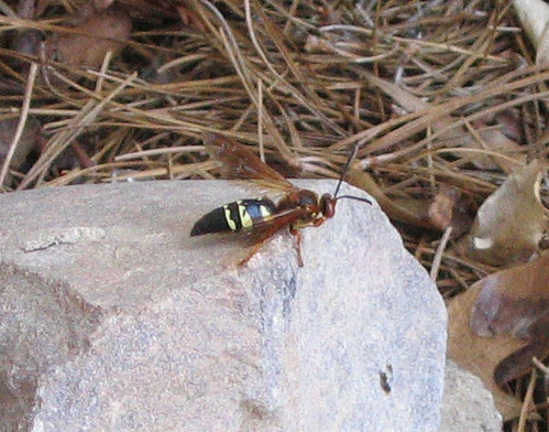 Cicada-killer wasp perched on a rock (145_4535)