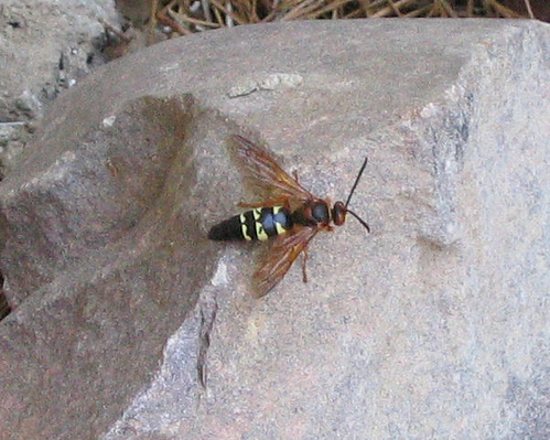 Top view of a cicada-killer wasp perched on a rock (145_4539)