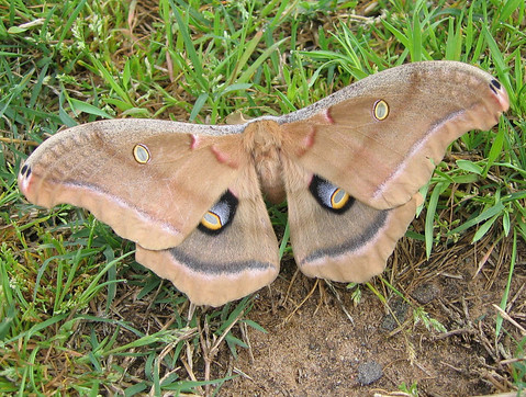 A male polyphemus moth (Antheraea polyphemus) resting on the ground (177_7744)