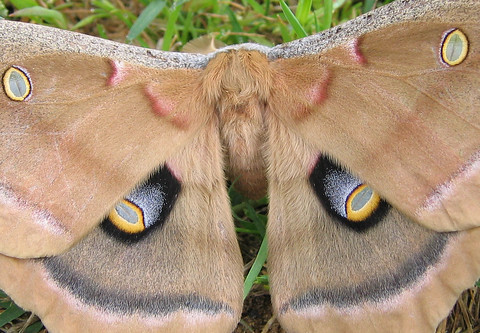 A close-up of a Polyphemus moth (Antheraea polyphemus) (177_7745)