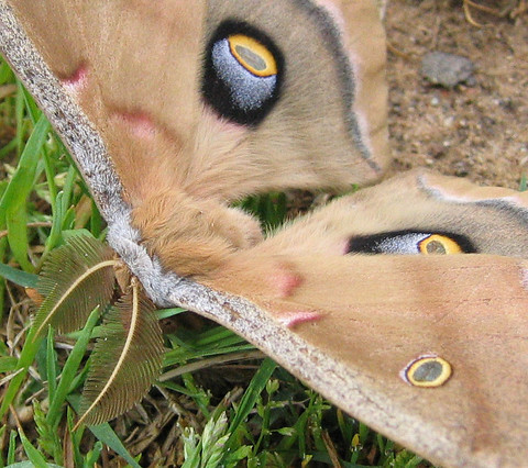 A close-up of the plumed antennae of a Polyphemus moth (Antheraea polyphemus) (177_7748_1)