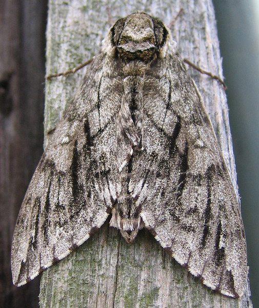 A plebeian sphinx moth (Paratrea plebeja) beautifully camouflaged as it hangs on a piece of wood (177_7752)
