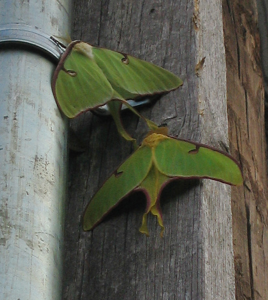 Two luna moths (Actias luna) in dim morning light (177_7753)