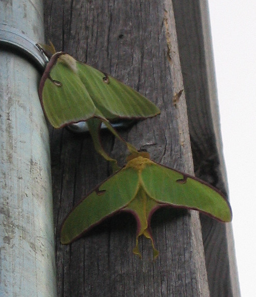 Two luna moths (Actias luna) in dim morning light (177_7755)