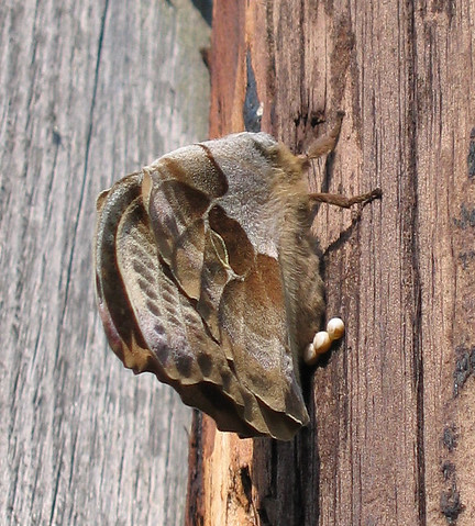 A female Polyphemus moth (Antheraea polyphemus) laying eggs on the side of a light pole (177_7793)