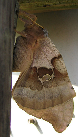 A Polyphemus moth (Antheraea polyphemus) hidden in the shadows (177_7795)