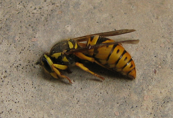 A dead queen eastern yellowjacket (Vespula maculifrons) (178_7842)