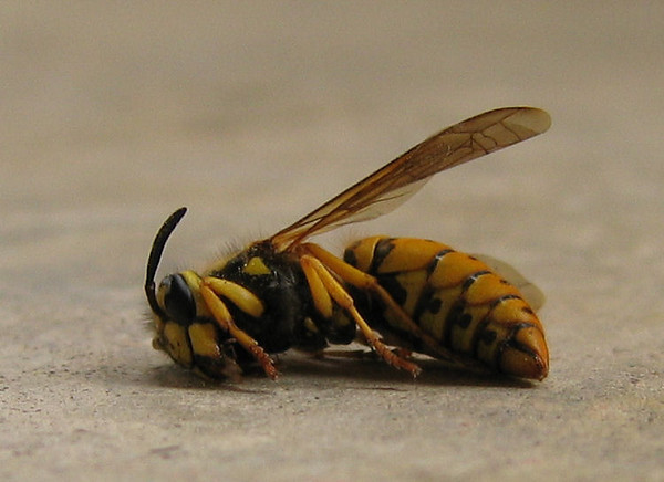 A dead queen eastern yellowjacket (Vespula maculifrons) (178_7845)