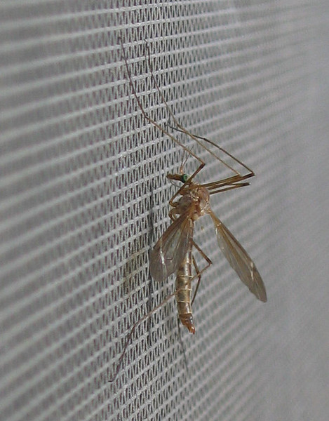 A giant western crane fly (Holorusia rubiginosa) hanging on the window screen (183_8331)
