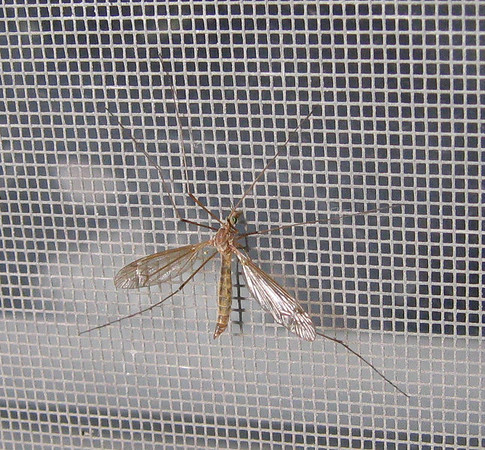 A giant western crane fly (Holorusia rubiginosa) hanging on the window screen (183_8336)