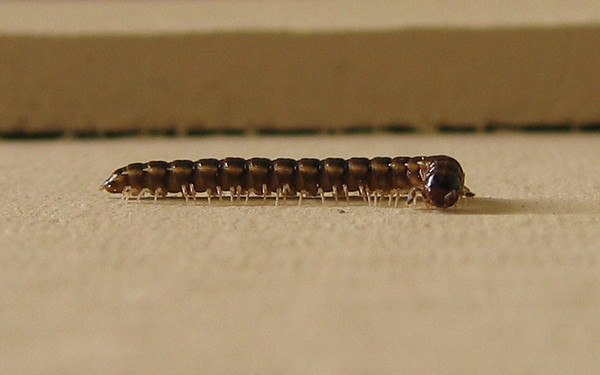 A Greenhouse Millipede (Oxidus gracilis) walking on the patio wall (195_9568)