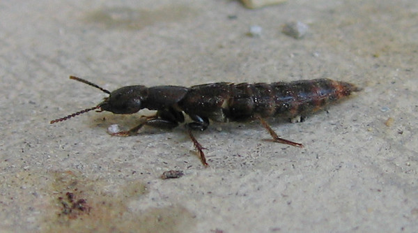 A rove beetle on the patio (196_9613)