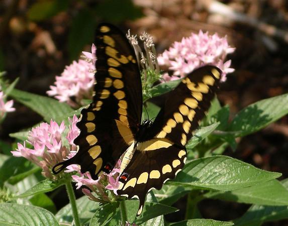 A black swallowtail (Papilio polyxenes) in Jenny's garden (2005-09-04_008)