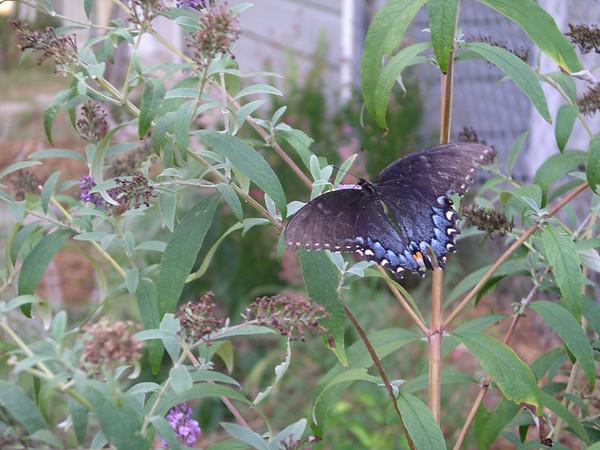 A Limenitis arthemis intergrade butterfly (2006-07-29 012)