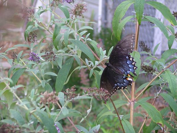 A Limenitis arthemis intergrade butterfly (2006-07-29 013)