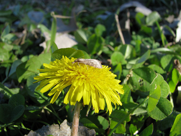 Unidentified moth perched atop a common dandelion (Taraxacum officinale) (20080120_01566)
