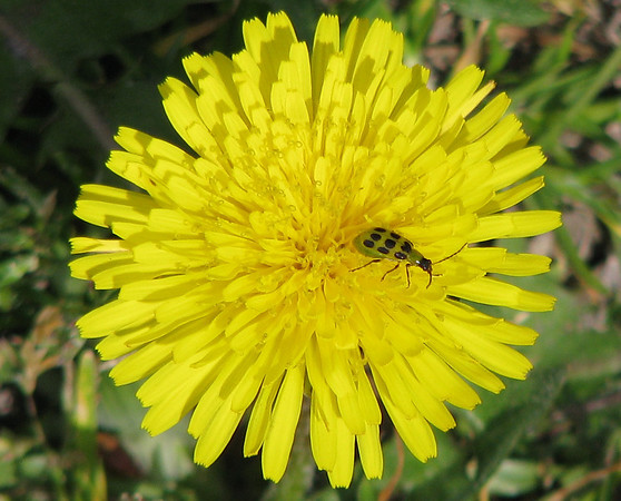 A spotted cucumber beetles (Diabrotica undecimpunctata) on top of a common dandelion (Taraxacum officinale) (20080301_02410)