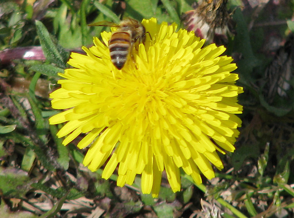 A western honey bee (a.k.a. European honey bee; Apis mellifera) hunting for pollen on a common dandelion (Taraxacum officinale) (20080301_02412)