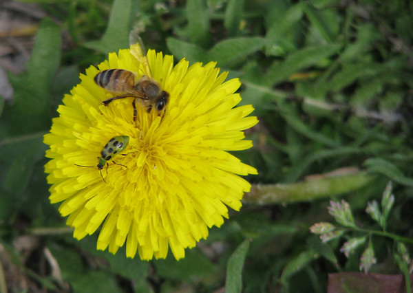 A western honey bee (a.k.a. European honey bee; Apis mellifera) and a spotted cucumber beetle (Diabrotica undecimpunctata) sharing a single common dandelion (Taraxacum officinale) (20080301_02420)