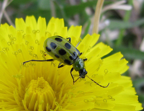 A close-up of a spotted cucumber beetle (Diabrotica undecimpunctata) on top of a common dandelion (Taraxacum officinale) (20080301_02428)