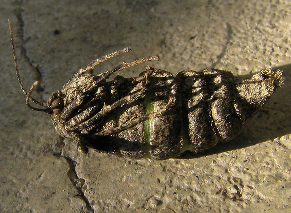 A female woolly gray moth (a.k.a. pine barrens lycia; Lycia ypsilon) lying on her back