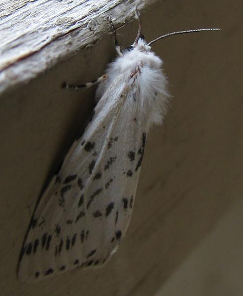 A fall webworm moth (Hyphantria cunea) (20080314_02566)