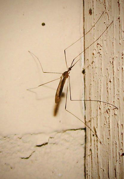 A crane fly (20080314_02771)