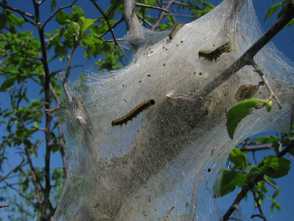 A colony of eastern tent caterpillars (Malacosoma americanum) in a sapling (20080405_02972)