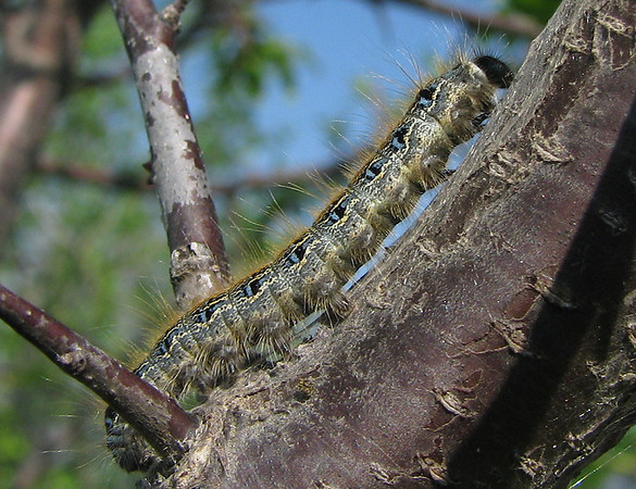 A solitary eastern tent caterpillar (Malacosoma americanum) climbing up a branch (20080405_02976)