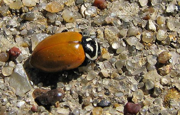Convergent ladybird beetle (a.k.a. convergent lady beetle or convergent ladybug; Hippodamia convergens) resting on a concrete pillar (20080412_03238)