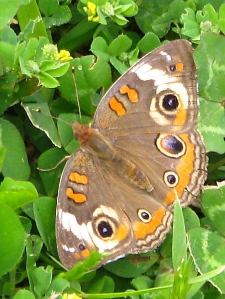 A common buckeye butterfly (Junonia coenia) (20080420_04300)