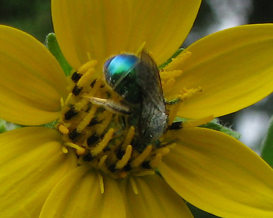 A metallic sweat bee (Augochloropsis metallica) digging around in an Engelmann daisy (Engelmannia pinnatifida) (20080422_04400)