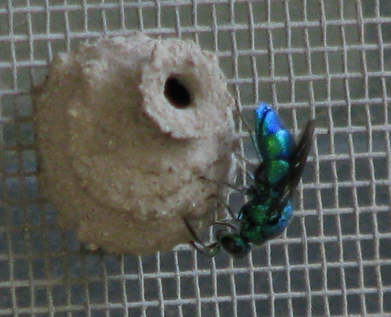 A cuckoo wasp (Chrysis coerulans) parasitizing the nest of a common potter wasp (a.k.a. dirt dauber; Eumenes fraternus) on my patio (20080526_05834)