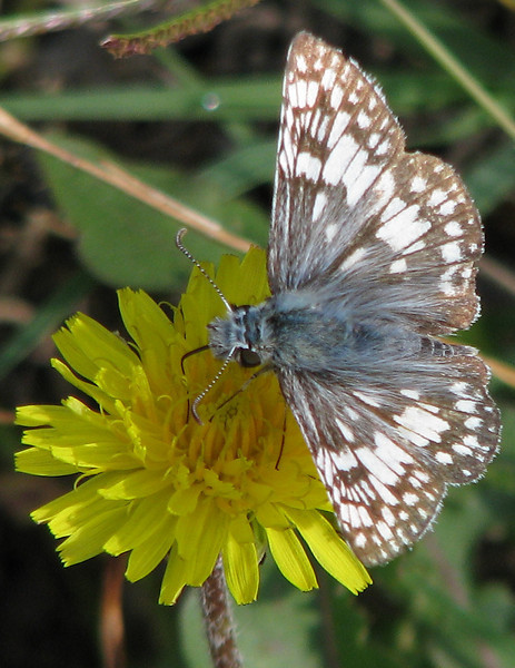 A white checkered-skipper (Pyrgus albescens) slurping nectar from a common dandelion (Taraxacum officinale) flower (20080601_05980)