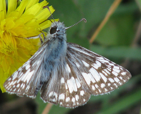 A white checkered-skipper butterfly (Pyrgus albescens) (20080601_05981)