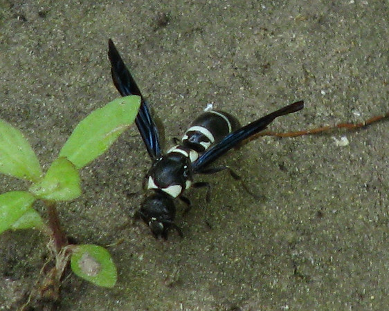 A mason wasp (Pseudodynerus quadrisectus) pausing briefly on wet sand (20080601_05996)