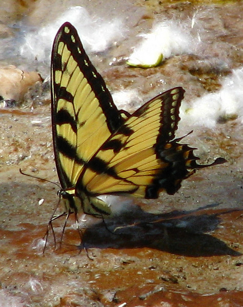 An eastern tiger swallowtail (Papilio glaucus) standing in a mud puddle (20080601_06145)