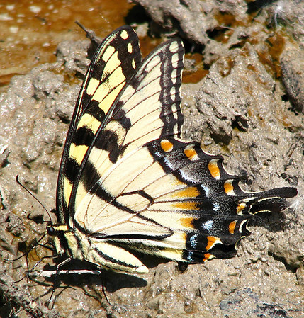 An eastern tiger swallowtail (Papilio glaucus) drinking from a mud puddle (20080601_06162)