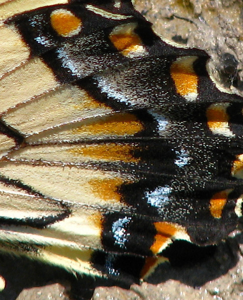 A close-up of the hindwings of an an eastern tiger swallowtail (Papilio glaucus) as it drinks from a puddle (20080601_06166)
