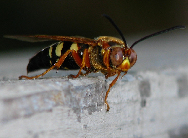 A male cicada-killer wasp (Sphecius speciosus) perched on the fence next to me (20080622_07399)