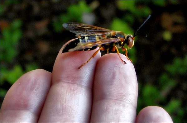 A male eastern cicada killer wasp (Sphecius speciosus) perched on my fingertips (20080622_07455_c)
