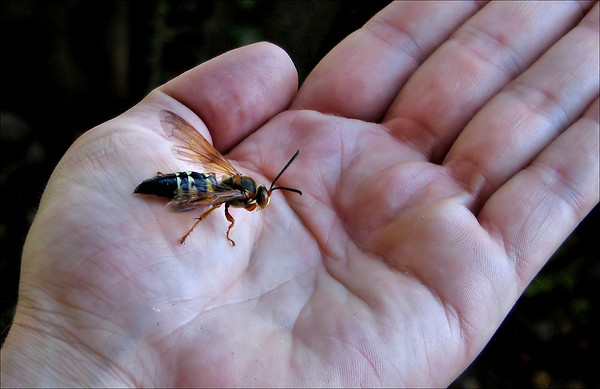 A male eastern cicada killer wasp (Sphecius speciosus) perched on my hand (20080622_07469_c)