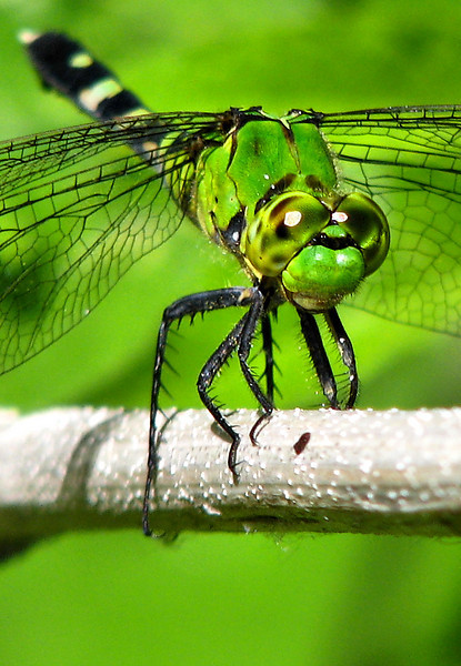 Close-up of a female eastern pondhawk (Erythemis simplicicollis) perched on a reed (20080712_09324_c)