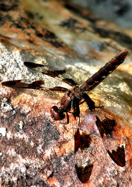 A female common whitetail (Plathemis lydia) resting on a rock (20080727_10249)