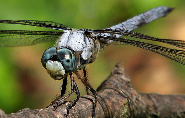 Close-up of a male great blue skimmer (Libellula vibrans) perched on a branch (20080824_11457)
