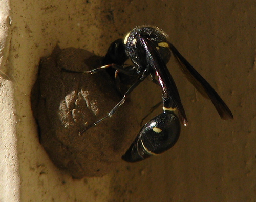 A female common potter wasp (a.k.a. dirt dauber; Eumenes fraternus) building a nest (20080904_11797)