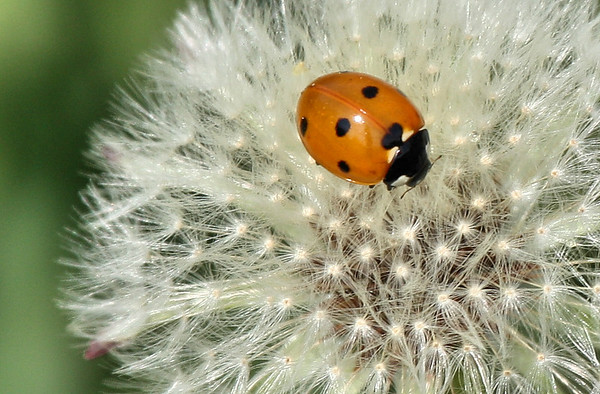 Seven-spotted ladybug (a.k.a. seven-spotted ladybird; Coccinella septempunctata) atop a dandelion (2009_03_21_013740)