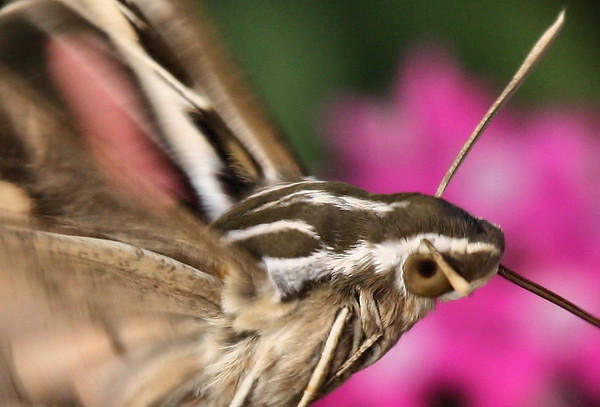 Close-up of a white-lined sphinx moth (Hyles lineata) as it feeds (2009_07_18_026958_c)