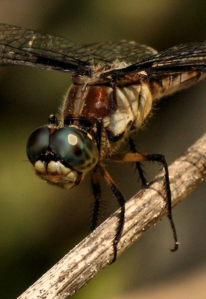 Close-up of a female great blue skimmer (Libellula vibrans) perched on a reed (2009_07_19_027343)