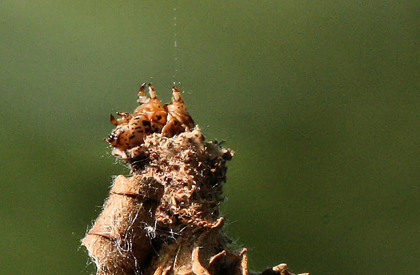 An evergreen bagworm moth (Thyridopteryx ephemeraeformis) dangling from a thread of silk (2009_07_25_027686)